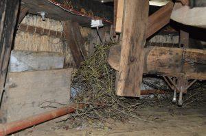 nestbouw van de Kauwtjes 2